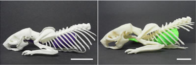 3d printing of skeleton
